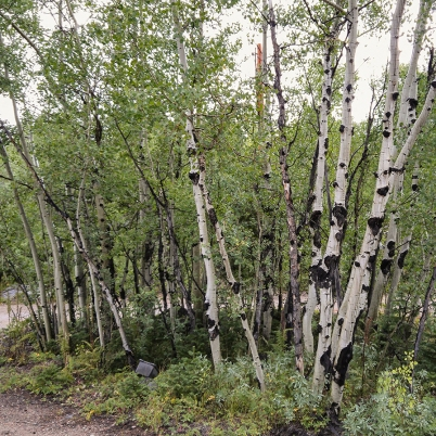 Aspen Trees, Colorado